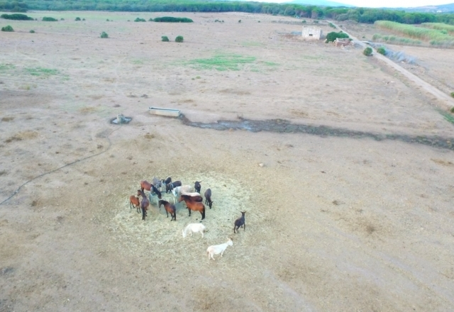 Donkeys and horses eat hay together