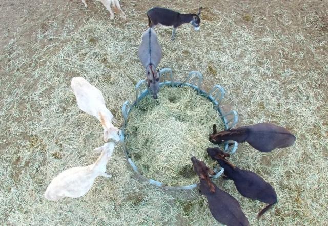 Donkeys eating hay