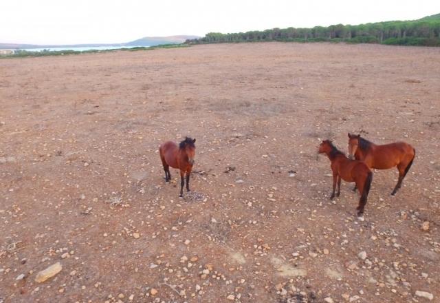 Wild horses in Porto Conte Natural Park